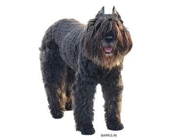Bouvier Dog