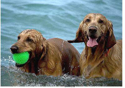 Dog social cognition