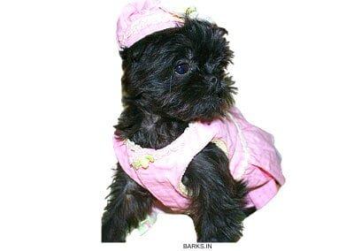 Griffon Bruxellois Puppy Dressed