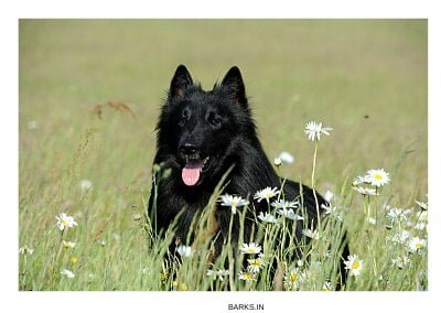 Groenendael Dog