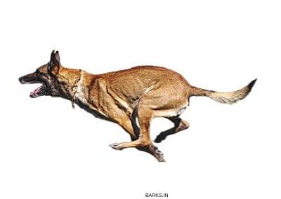 Malinois dog Fast