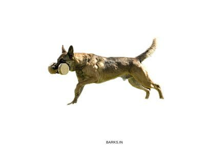 Malinois dog fetching