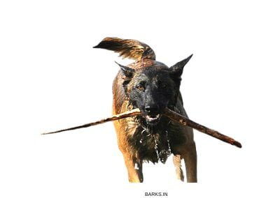 Malinois dog in water