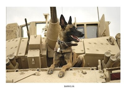 Malinois dog on a tank