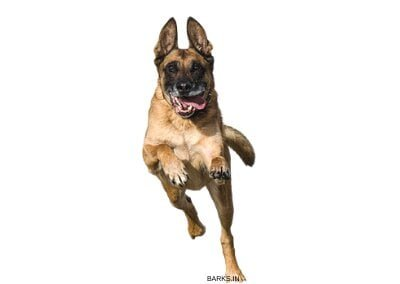 Malinois dog running