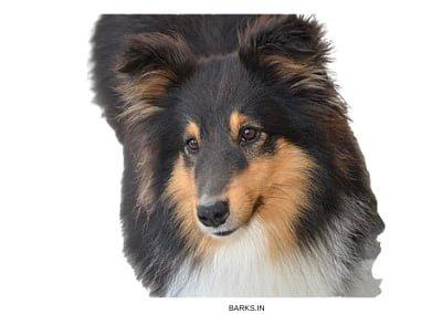 Shetland Sheepdog Profile