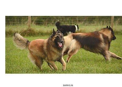 Tervuren Dog