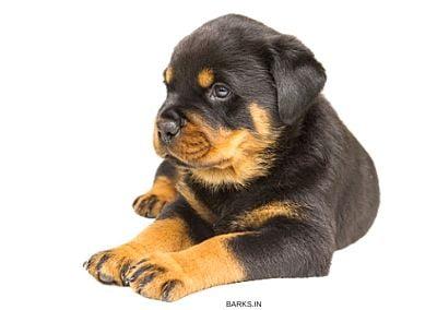 A Rottweiler Puppy
