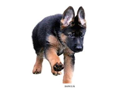 Active GSD puppy