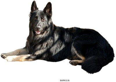 Bi-color German Shepherd