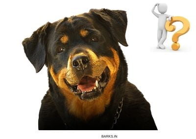 Rottweiler buyers guide