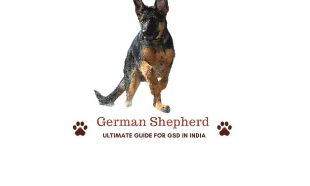 Ultimate guide to German Shepherd in India