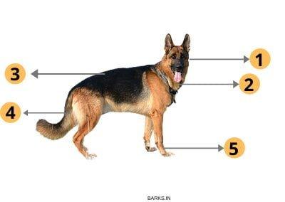 German Shepherd Traits