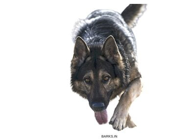 German Shepherd alert