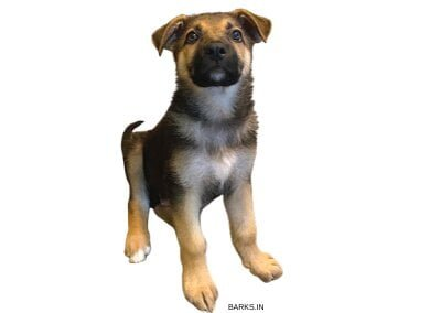 German Shepherd with with markings