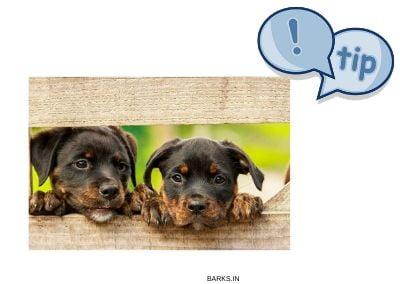 Rottweiler Breeding tips Illustration