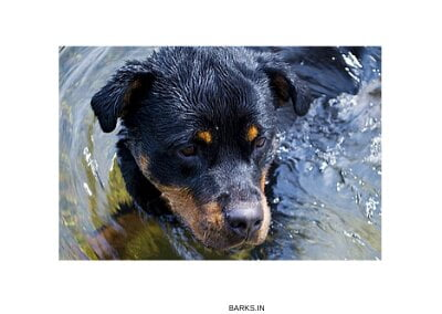 Rottweiler Playing