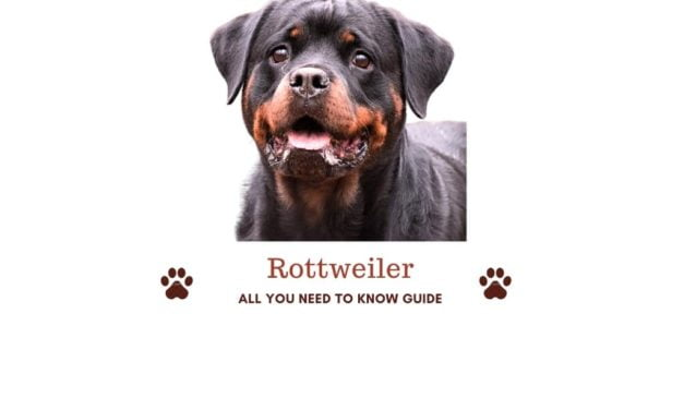 Rottweiler in India. Ownership guide with important tips!