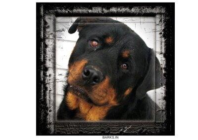 Rottweiler profile