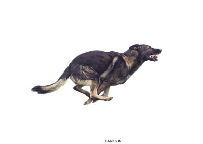 Running German Shepherd