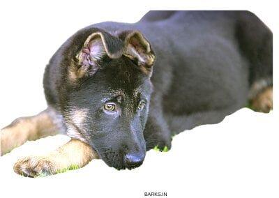 Sad GSD puppy