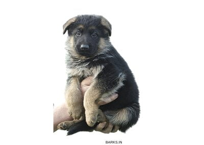 Selling a GSD puppy