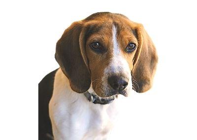 Beagle-Harrier