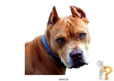 Brown Pitbull Temperament