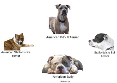 Four Pitbull-type dogs