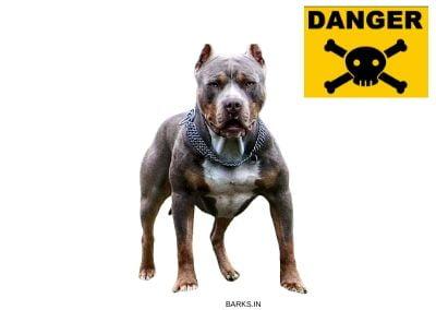 Pitbull Aggressive