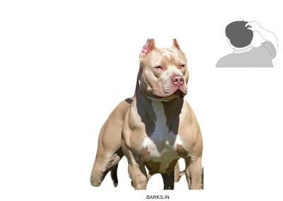 Pitbull development illustration