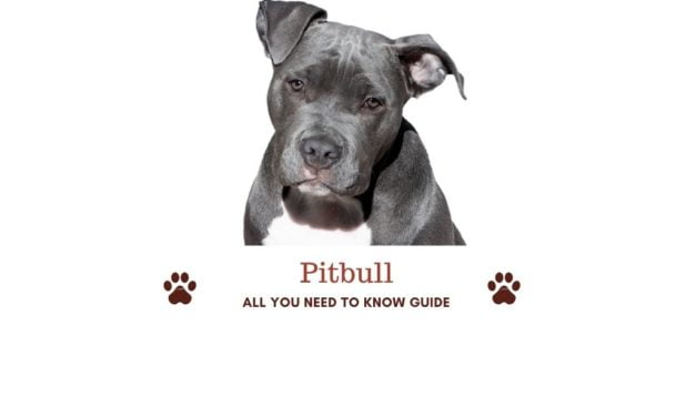 Pitbull in India. All you need to know guide