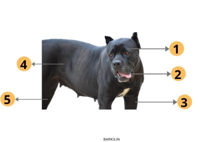 Pitbull traits