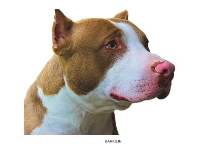 Pitbull with rose nose