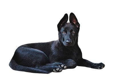 GSD Black puppy
