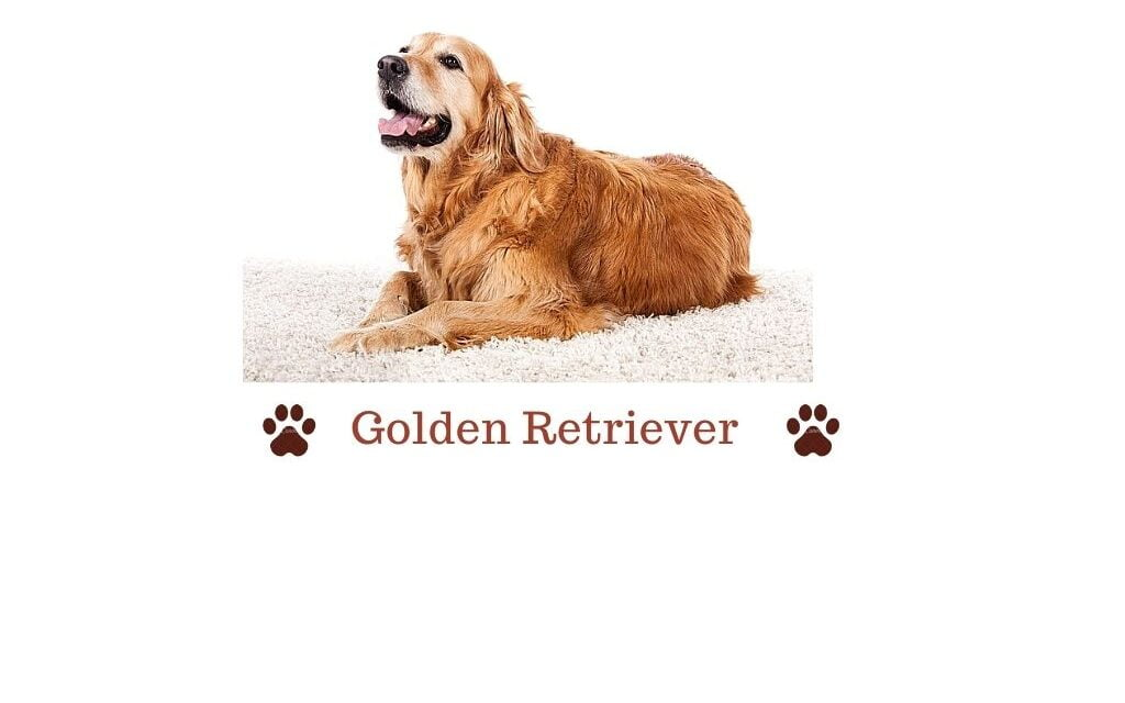 Golden Retriever in India. All you need to know guide