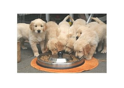 Golden Retriever puppies feeding