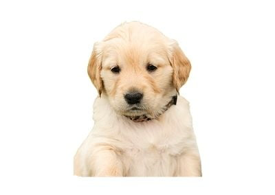 Golden Retriever puppy care