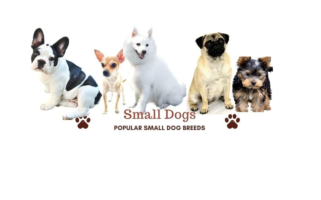 Small dog breeds in India. Best small dogs for apartments