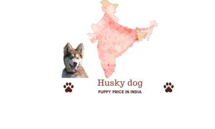 Husky price in India. Where to buy Siberian Husky in India?