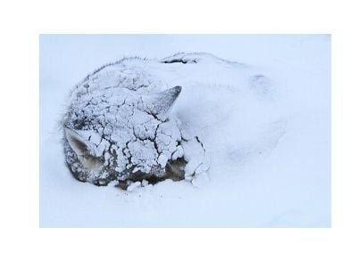 Husky under snow