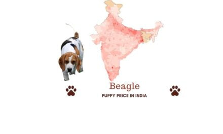 Beagle puppy price in India in all major cities