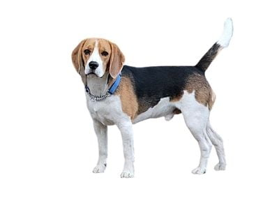 Beagle dog price in India