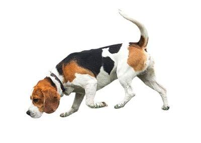Beagle scent hound