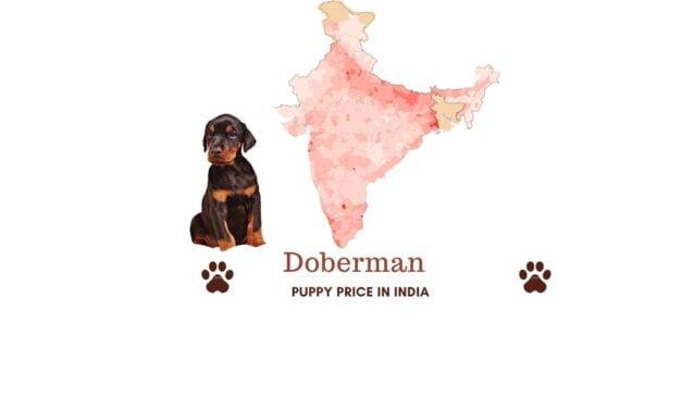 Doberman price in India across all major Indian cities