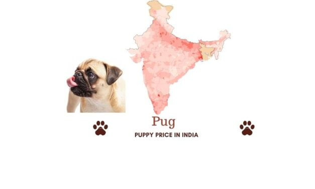 Pug price in India across all major Indian cities