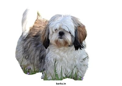 Shih Tzu dog in India