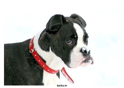Boxer Puppy cute