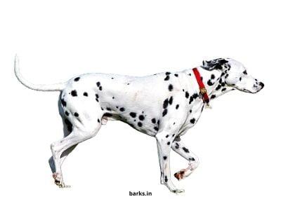 An adult Dalmatian