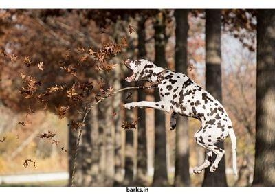 Liver Dalmatian jumping